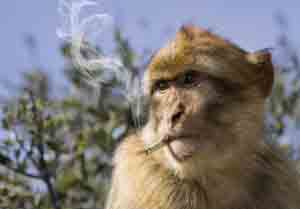 monkey smoking a cigarette